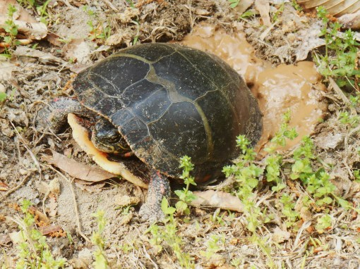 A different turtle, who left her eggs in our side garden on May 7, 2015.