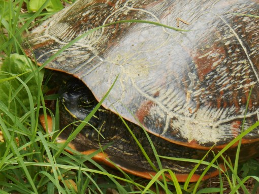 Our third mother turtle of the summer, laying her eggs in your garden on Thursday afternoon....