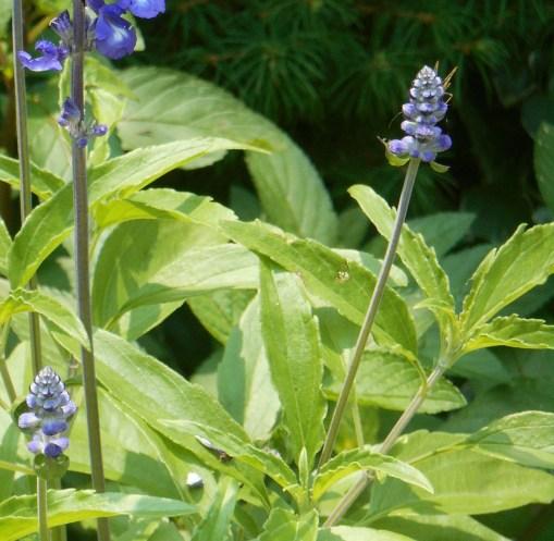 June 11, 2015 garden 017