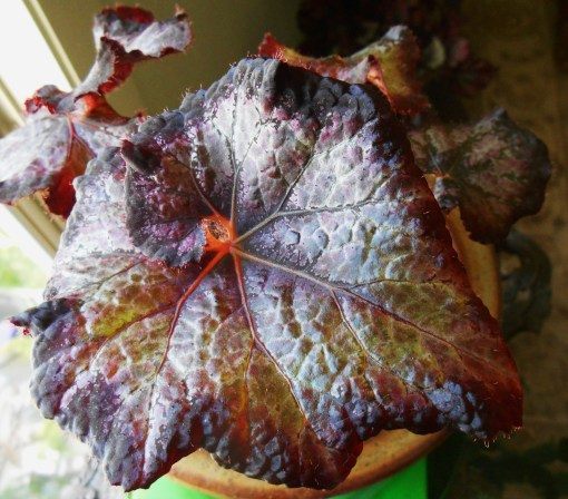 June 12, 2015 Begonias 001