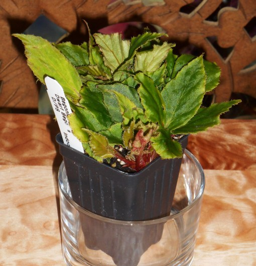 I just purchased this little Begonia at the Great Big Greenhouse in Richmond, an excellent source for Begonias. A little pot like this costs between $2 and $3.