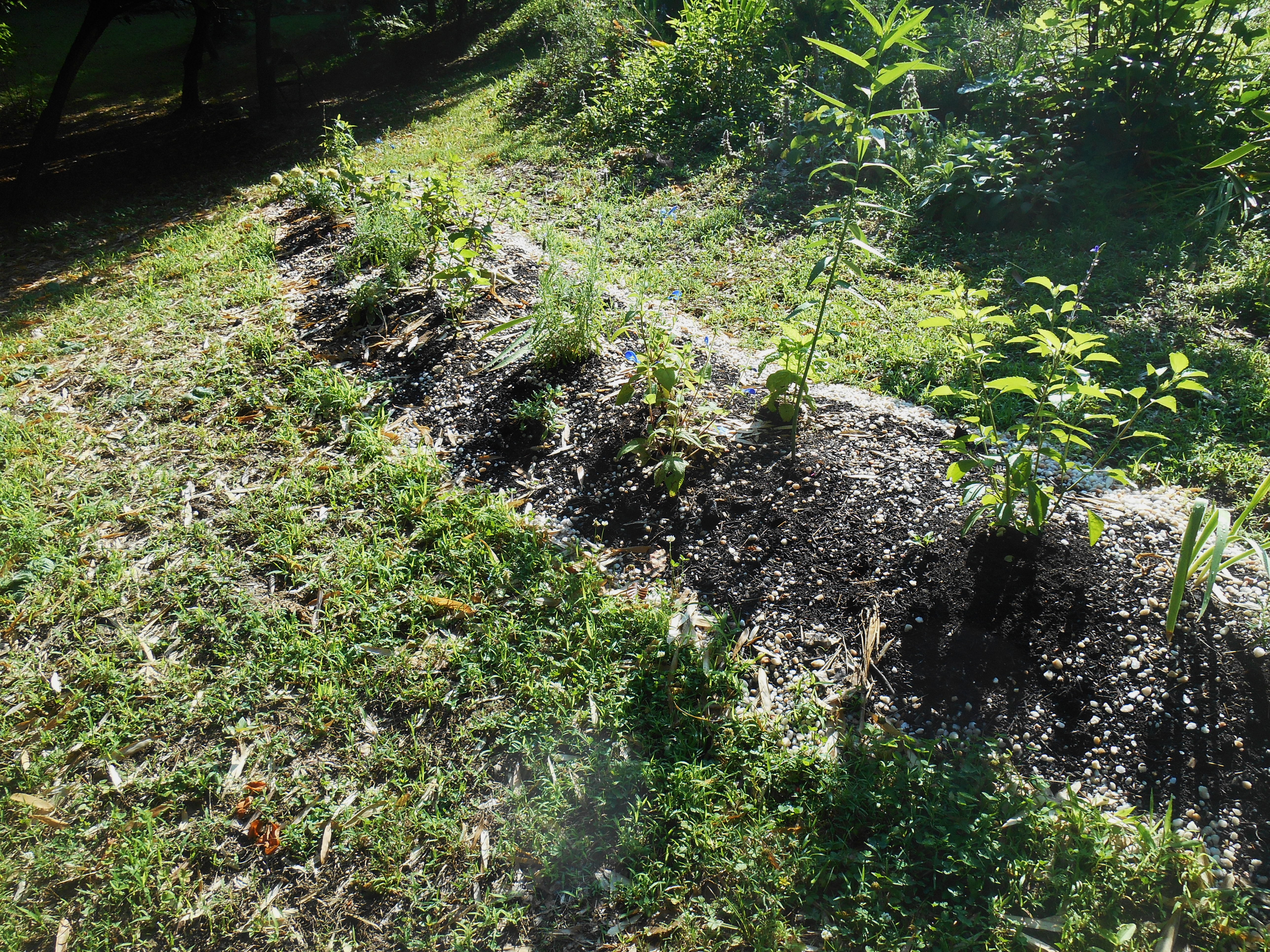 Our new perennial bed this morning, before work on the new border began.