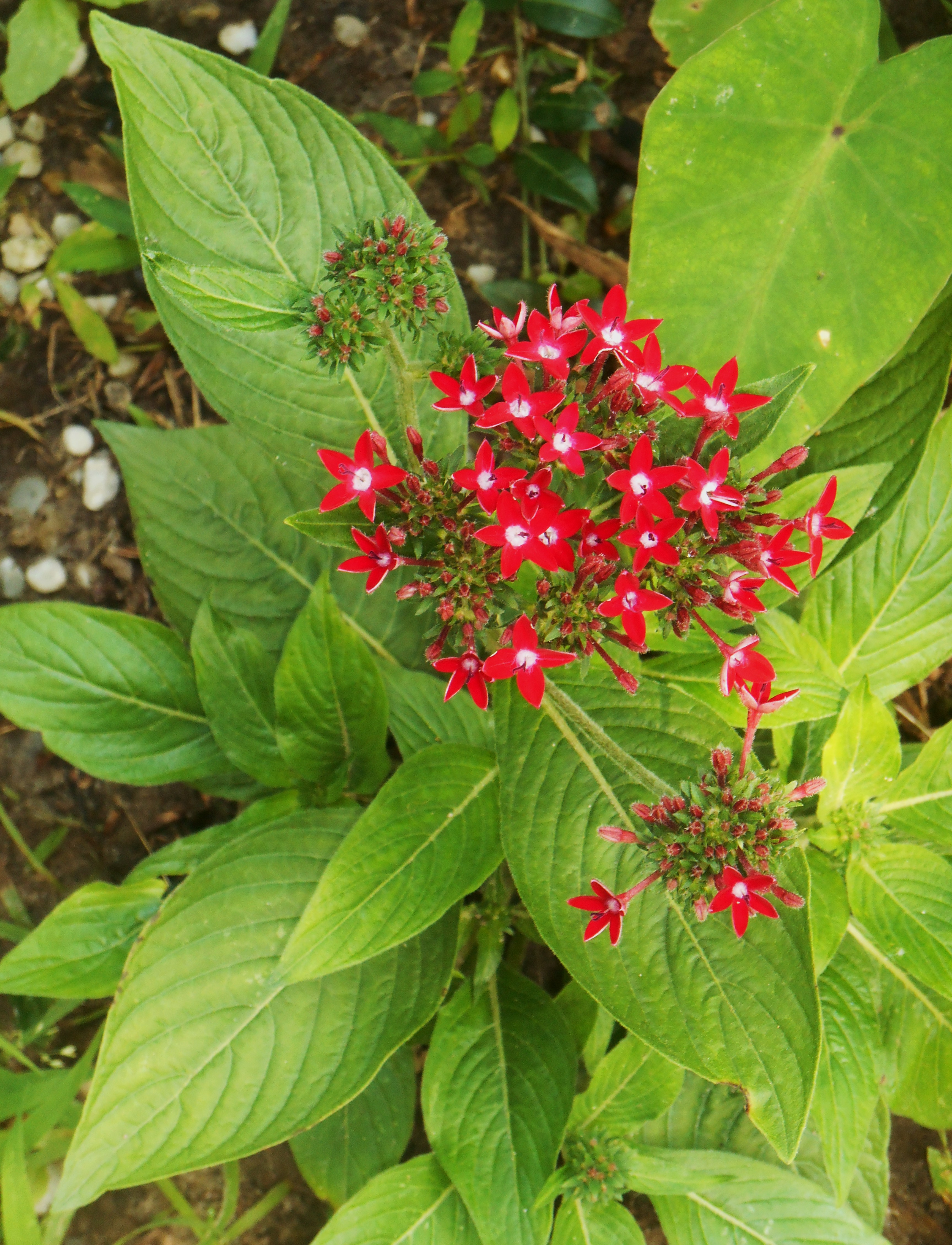 """Cheery red Pentas, growing in another part of our garden, to say """"Thank you!"""" to Sue and Alex."""