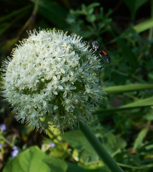 Our Allium flowers remain popular with the insects.  These from onion sets planted last year to protect other things growing in our stump garden.