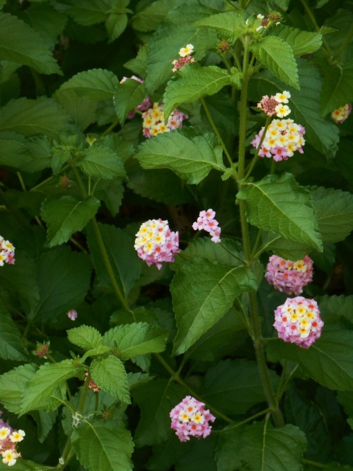 This Lantana returned for its fourth season in our garden.