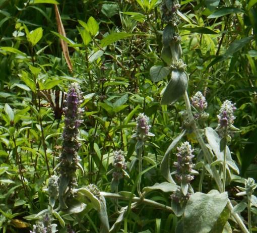 June 17, 2015 pollinators 007
