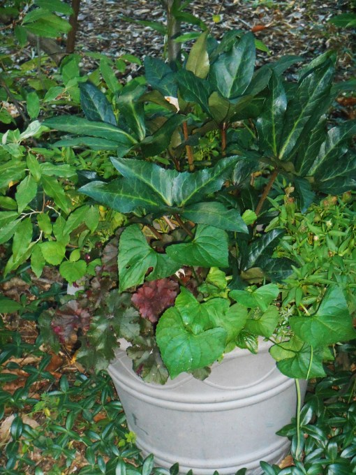 Helebores, also poisonous, protects this pot from grazing.  The Heuchera would be munched if unprotected.