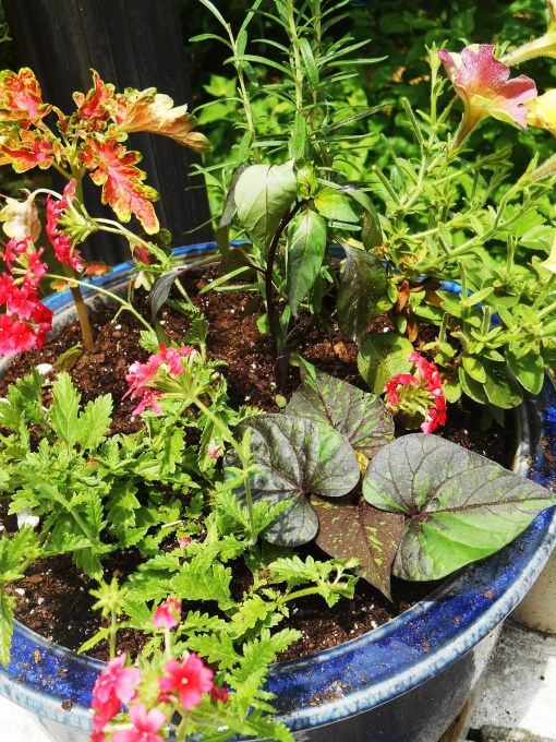 A newly planted pot on my deck holds Rosemary, Coleus,  Carzytunia Sparky' Petunia,  Strawberry and Cream Lanai Verbena, and a voluneer seedling of ornamental pepper moved over from another pot.