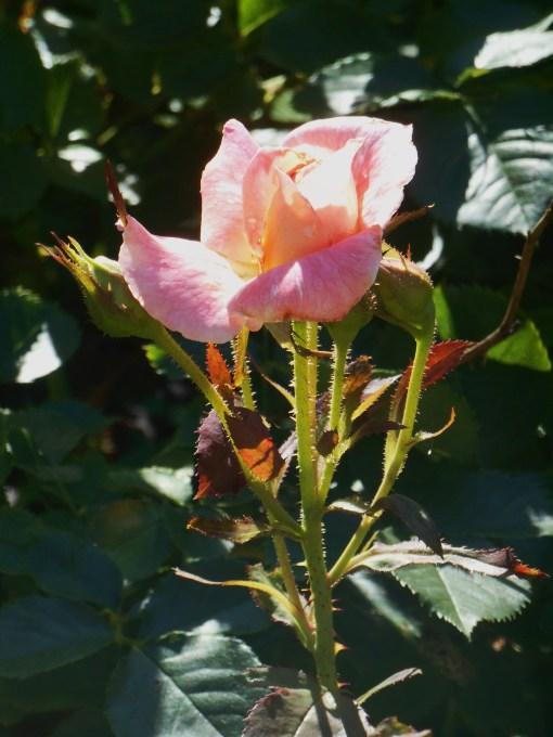 June 20, 2015 garden 004