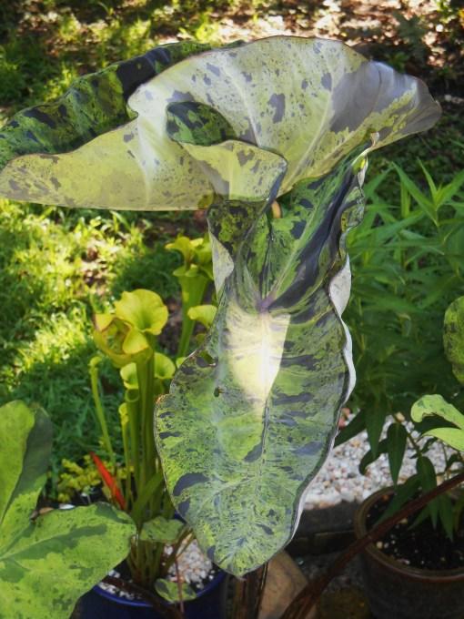 June 20, 2015 garden 015