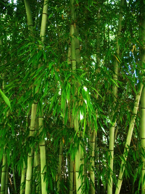 Bamboo provides cover for nesting birds, shelter from the weather, and a steady supply of insects to eat. Deer never touch it.