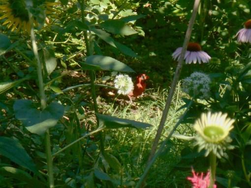 June 20, 2015 garden 048