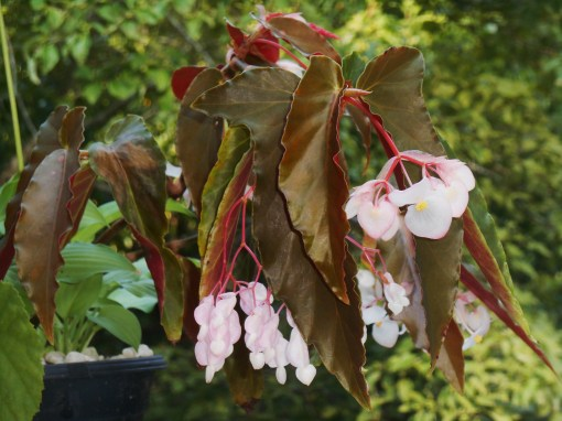 This cane Begonia has been with us for many years now.  It roots easily in water, and I've shared cuttings with many friends.