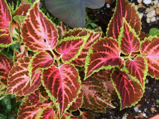 Coleus with Colocasia