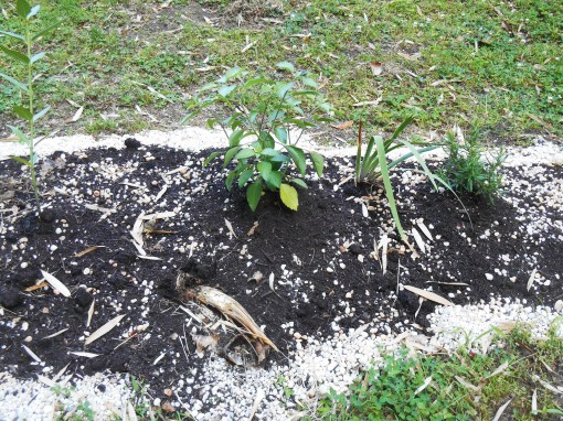 Bamboo tried to poke up into the new bed here.  We break the new growth off at the surface.  Eventually, I'll bring compost down to topdress this entire bed, covering the intruder.