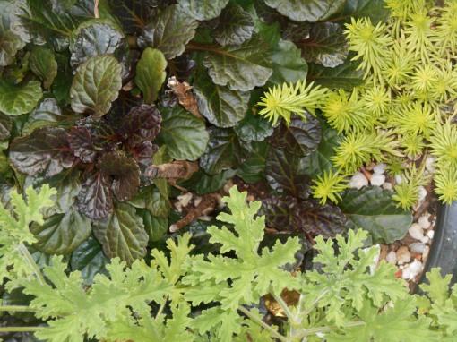 Ajuga and Sedum, perennials, with tender perennial scented Pelargonium.