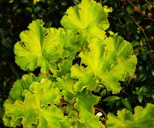 Rose scented Pelargonium.