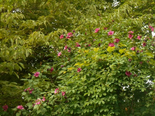 Vines  climb through Rose of Sharon and scamper onto a Dogwood tree in our garden.