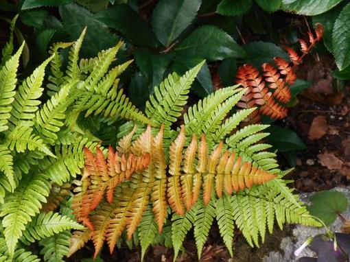Autumn 'Brilliance' fern with Hellebores