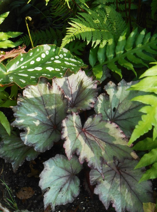 Here is my magical Begonia, which dies back to its rhizome from time to time.  From its sad start when I set it out in May, it has now grown its summer crop of new leaves in a shady bed of ferns.