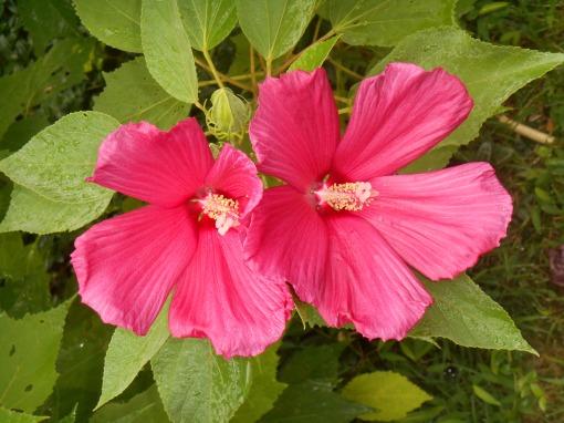 July 11, 2015 garden Hibiscus 004
