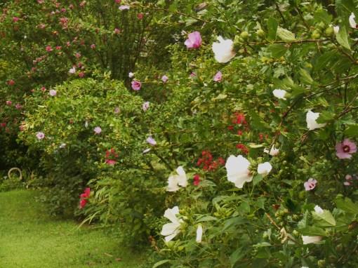 July 11, 2015 garden Hibiscus 012