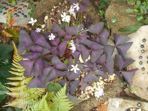 Oxalis triangularis grows in a pot outside as part of a small shade garden.  Although leaves are grazed from time to time, the plant is happy here in the partial shade.