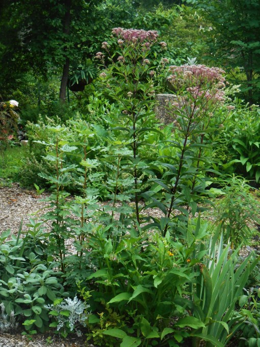Joe Pye Weed, a popular stopping place for all pollinators.
