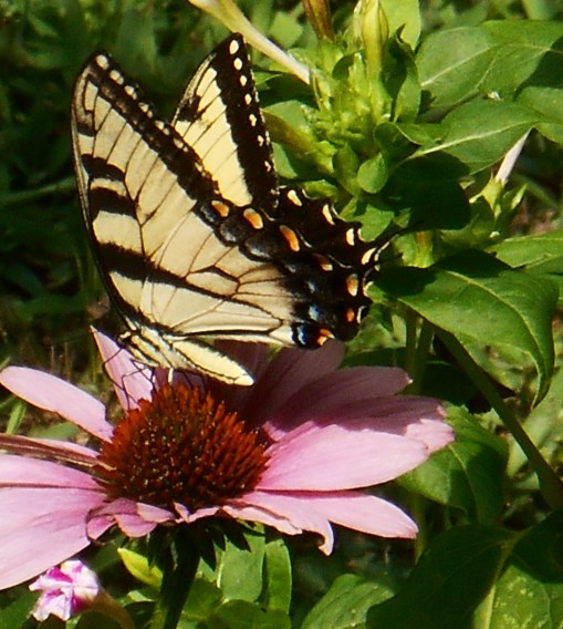 July 2014, an Eastern Tiger Swallowtail enjoys the Echinacea.
