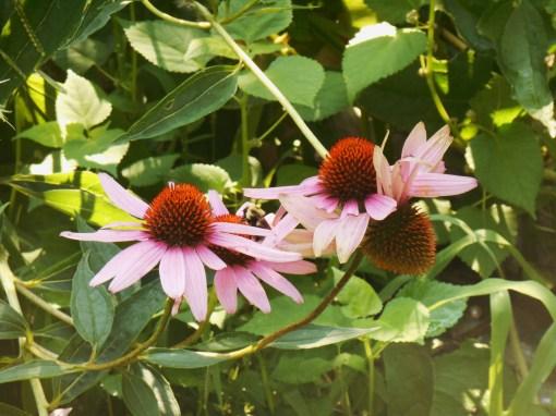 July 20, 2015 garden 027
