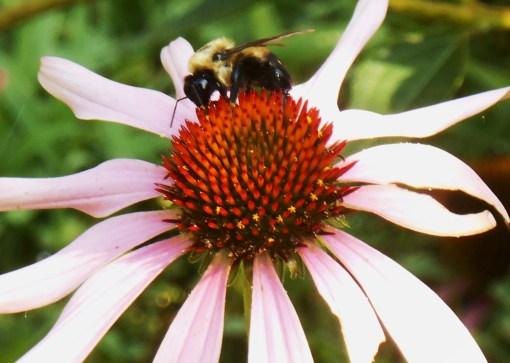 Native Echinacea attracts many pollinators.