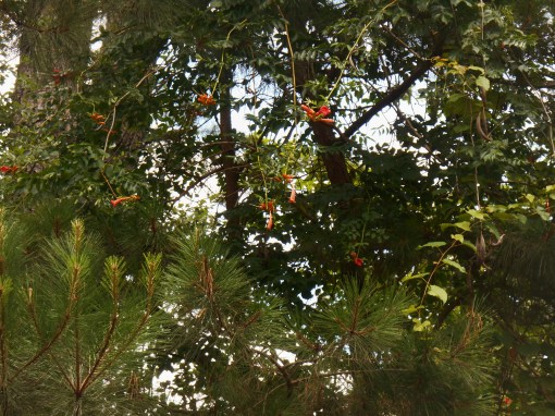 Native trumpet vine grows through trees, entangling with other vines.  This grows in Jamestown Island.