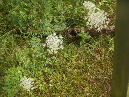 Queen Anne's Lace grows near a pond on the Colonial Parkway.