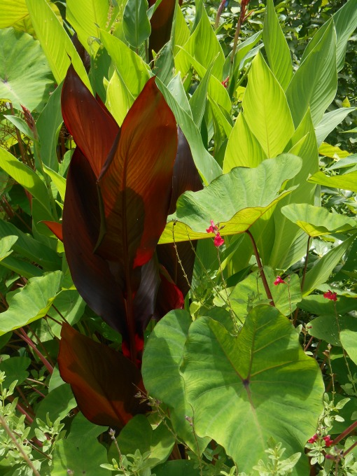 Our garden on the fourth of July:; a Salvia grows through Colocasia, punctuated with a dark leafed Canna.
