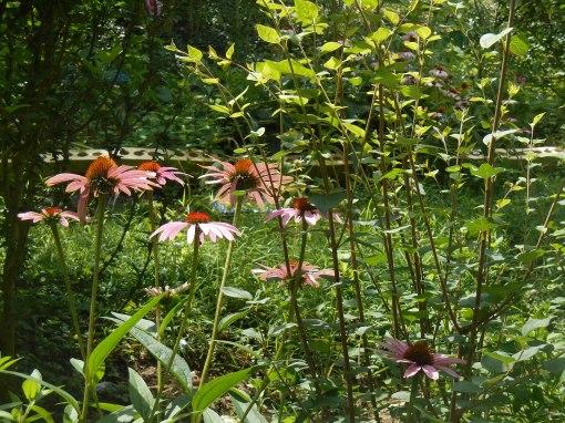 July 5, 2015 garden 018