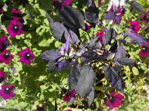 A volunter ornamental pepper grows up through bright Petunias in a large pot on our deck.