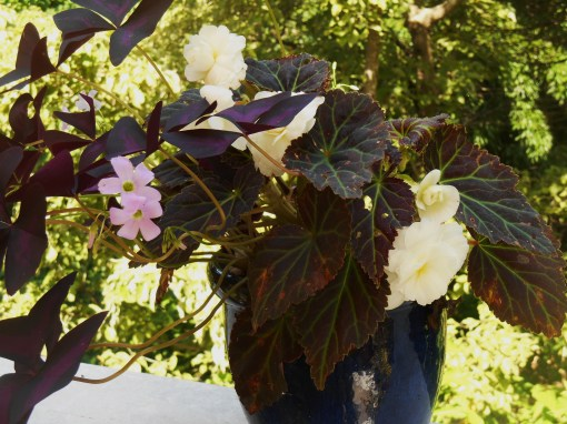 A dark leaved Tuberous Begonia shares a pot with Oxalis.