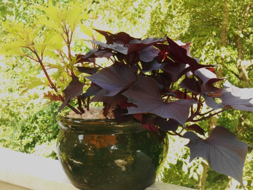 Sweet potato vine grows here with a Coleus cutting.