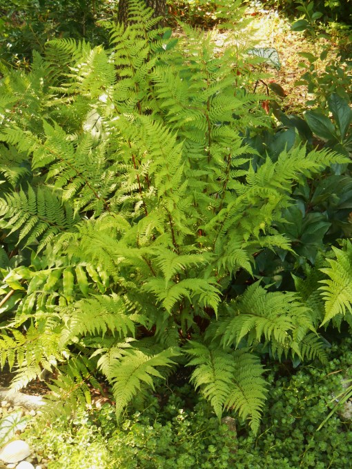 Plant ferns with confidence, knowing they will not be eaten by hungry visitors to your garden.