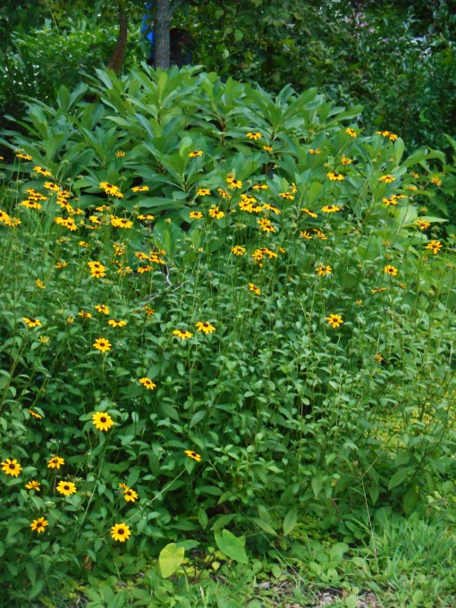 These Black Eyed Susans were growing in the garden when we came here, but we spread the plants around when they emerge each spring. The clumps spread and also self-seed.