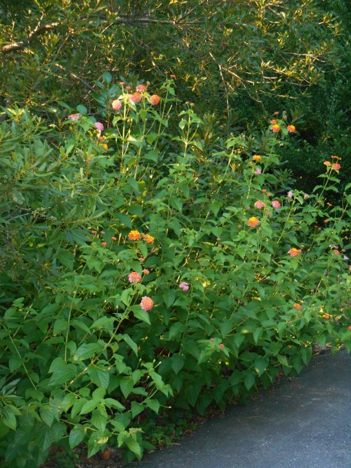 'Miss Huff' Lantana growing along the street at the front of our garden in mid-August. 'Miss Huff' was one of the parents of 'Chapel Hill Yellow' and passsed on her cold hardiness to this new line of plants.