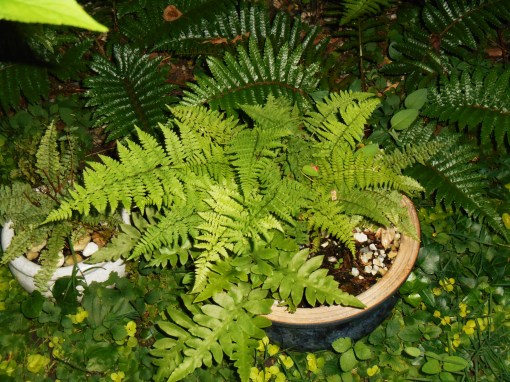 The large fern in the blue pot is my favorite tender lady fern, which spreads its self around generously. Most ferns spread by rhizomes, gradually growing larger and larger each year.