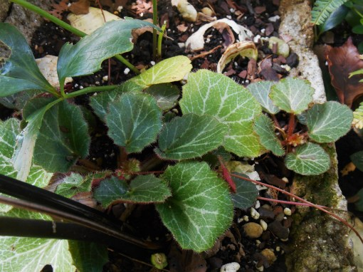 Strawberry Begonia spreads prolifically with long runners, tipped with baby plants which will root wherever they touch the soil.