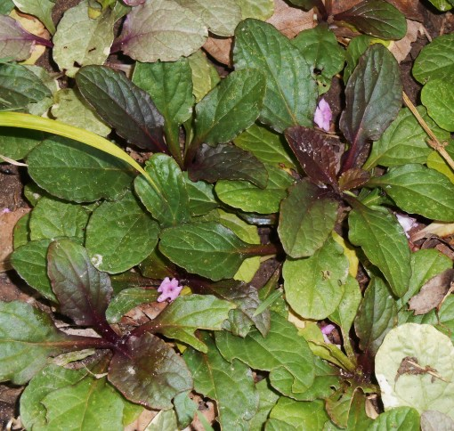 Ajuga, which forms a dense ground cover in one of our beds.
