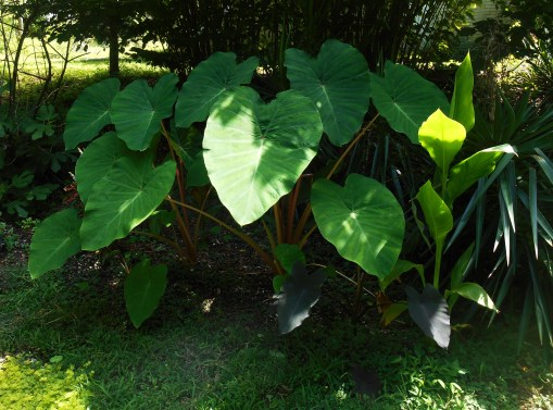 Clumping Hazel trees form the backdrop to this bed filled with hardy Colocasia and Canna lilies.