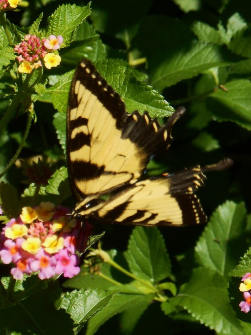 Female Eastern Tiger Swallowtail butterfly on Lantana