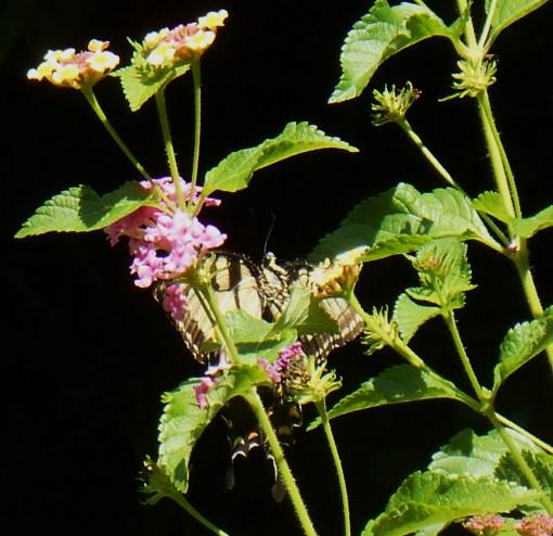 August 20, 2015 butterflies 003