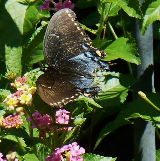 August 20, 2015 butterflies 005