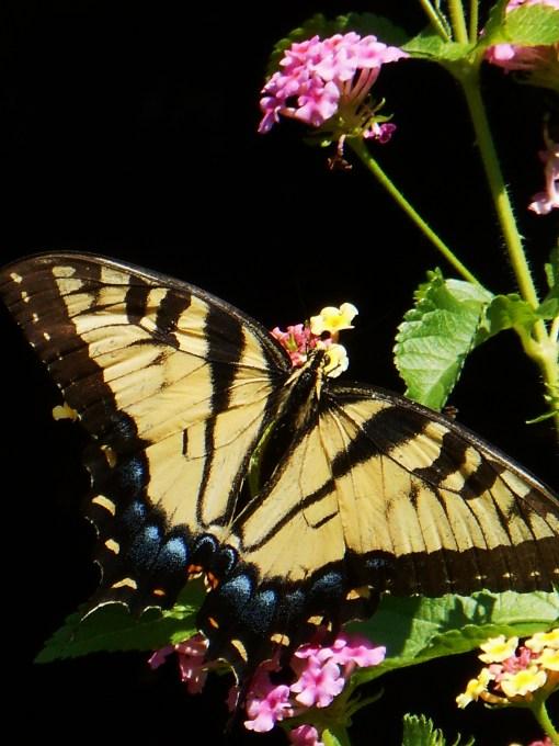 August 20, 2015 butterflies 006