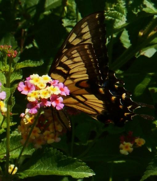 August 20, 2015 butterflies 011